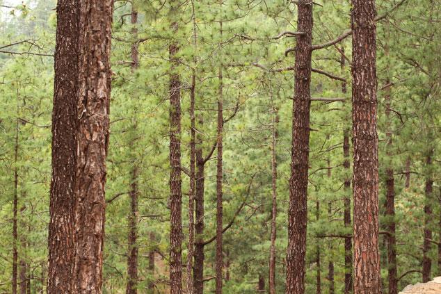 Bosque-del-Fraile, Tenerife