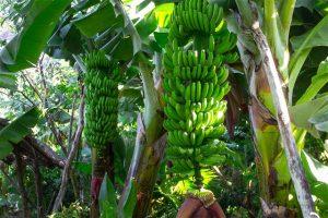 plataneras en La Palma