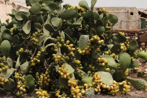 tuneras en Lanzarote